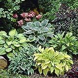 20 macetas mixtas de semilla de jardín de plantas perennes de plátano, lirio, bricolaje, hogar, jardín, cubierta de tierra, h