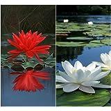 Semillas BloomGreen Co. Flor: Semillas de flor de loto rojo y blanco mezclado Paquete 15 Semillas de terraza y cocina jardín