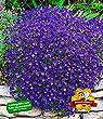 BALDUR-Garten Winterharter Bodendecker Blaukissen 'Cascade Blue', 3 Pflanzen Aubrieta