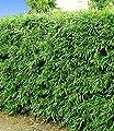 BALDUR-Garten Winterharte Bambus-Hecke, 5 Pflanzen, Fargesia murielae Simba von Baldur-Garten - Du und dein Garten