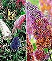 BALDUR-Garten Sommerflieder-Sortiment Buddleia 'Papillion Tricolor' und 'Flower-Power®, 2 Pflanzen Buddleja von Baldur-Garten auf Du und dein Garten