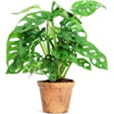 Monstera Obliqua Monkey Leaf Planta Natural en Maceta