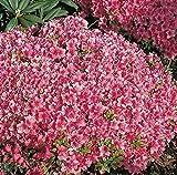 Japanische Azalee Michiko 15-20cm - Rhododendron obtusum - Zwerg Alpenrose