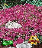 BALDUR-Garten Winterharter Bodendecker Roter Teppich-Phlox, 3 Pflanzen Polsterphlox Polster-Flammenblume Polsterstauden Teppichphlox Moosphlox mehrjährig Phlox subulata