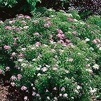 .de pflanzenservice buntblütige sommerspiere, Spiraea JAPONICA