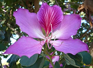 PATPERT Kanchan (Bauhinia Racemosa) The Medicinal Ayurvedic Plant