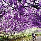 Yukio Samenhaus - 10 Stück Chinesischer Blauregen Wisteria sinensis Blumensamen winterhart mehrjährg, schnellwachsend Kletterpflanzen