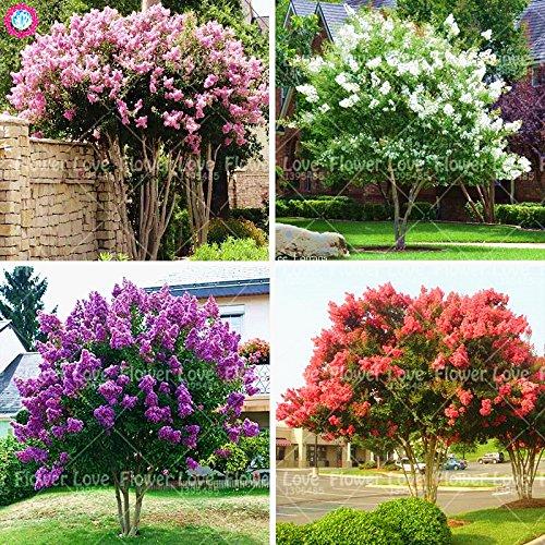 100pcs crape mirto - lagerstroemia indica 'natchez' semi perenne fiore cortile myrtle albero domestica dei semi della pianta di giardino 1
