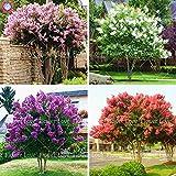 100pcs crespón Myrtle - Semillas Semillas perenne de flores Patio árbol de Myrtle Inicio Jardín Planta 1 Lagerstroemia indica 'Natchez'