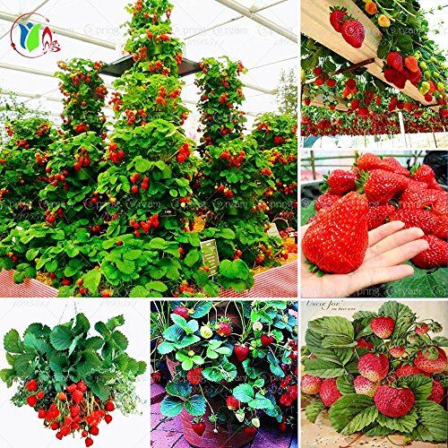SVI 600 Pcs géant Rouge Escalade Fraise Graines de Fruits pour la Maison et Le Jardin de Bricolage rares Graines pour bonsaï