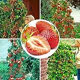 100pcs semi di fragola rampicante fragola semi di piante da frutto giardino domestico
