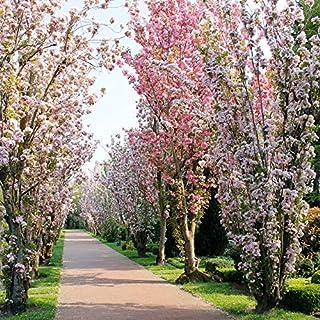 Dominik Blumen und Pflanzen, Japanische Säulenzierkirsche  Prunus serrulata,