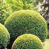Buchsbaum Kugel 40 cm - 1 strauch