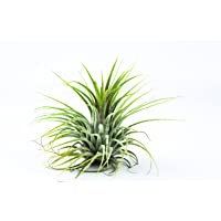Air Plant Planet - Tillandsia Ionantha (Big) Air Plant""