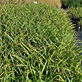 Carex pendula (Riesensegge) im 9 cm Topf