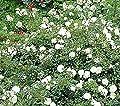 'Snow Ballet' -R-, Rosen-Halbstamm in A-Qualität Wurzelware von Rosen-Union auf Du und dein Garten