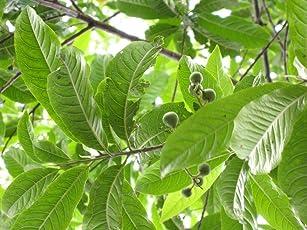 Raj Garden Plants Rudraksh Live Plant ,रुद्राक्ष ,Live Plant, Elaeocarpus Ganitrus