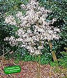 BALDUR-Garten Weißer Ahorn