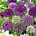 BIG SET Garten Zierlauch Riesen Allium Mix Lila weiß 25 Blumenzwiebeln von Lifestyle-Hamburg Pflanzenraritäten - Du und dein Garten