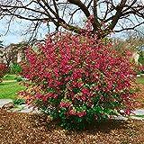 Zierjohannisbeere rosa-rot blühend, 1 Strauch