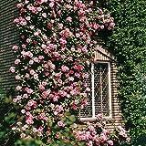 Kletterrose Coral Dawn - 1 rose