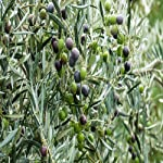 Greenaryhub Olive Fruit Healthy Live Plant For Home & Outdoor