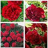 Peonías bulbo,La peonía roja del pequeño experto en salud florece en primavera para purificar el aire y el bonsái verde de la