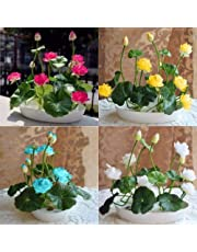 NooElec Seeds India Bowl Mix Colour Lotus -20 Seeds Pack