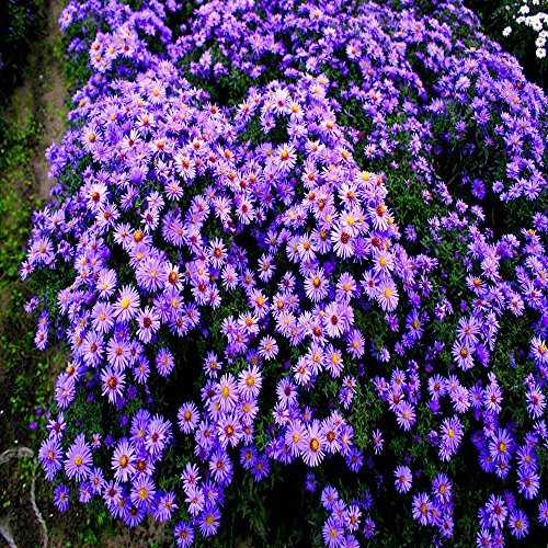 Kissen Aster dumosus blau - 3 pflanzen (Rabatt-kissen)