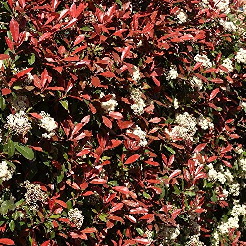photinia-x-fraseri-red-robin-laurier-a-feuilles-rouges-en-pot