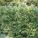 Kirschlorbeer Hecke Otto Luyken - 5 heckenpflanzen