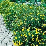 Fingerstrauch 'Goldfinger'–Potentilla fructicosa–Dasiphora fruticose Strauch mit zitronen-gelben Blüten als Bodendecker, Hecke oder in Einzelstellung – von Garten Schlüter - Pflanzen in Top Qualität