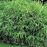 Dominik Blumen und Pflanzen, Zwergbambus, Pleioblastus pygmaeus, 1 Pflanze im 2 Liter Topf, 10 - 30 cm hoch, Bodendecker, plus 1 Paar Handschuhe gratis