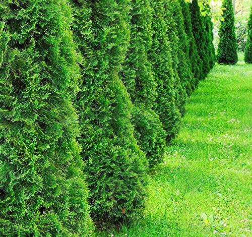 Heckenpflanze - Thuja occidentalis Smaragd - Pflanzhöhe 160-180cm - BALLENWARE (10)