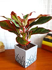 Rolling Nature Red Aglaonema Siam Aurora Chinese Evergreen Plant In White Cube Aroez Ceramic Pot