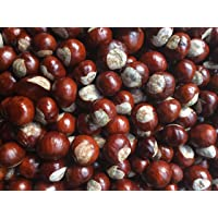 100 Conkers - Horse Chestnut Tree Fruits/Seeds