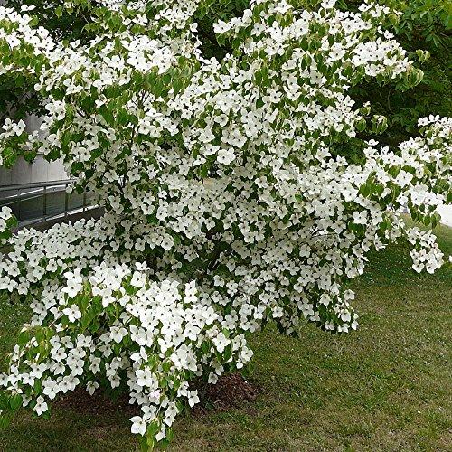cornus-kousa-milki-way-cornouiller-grandes-fleurs-blanches-greff
