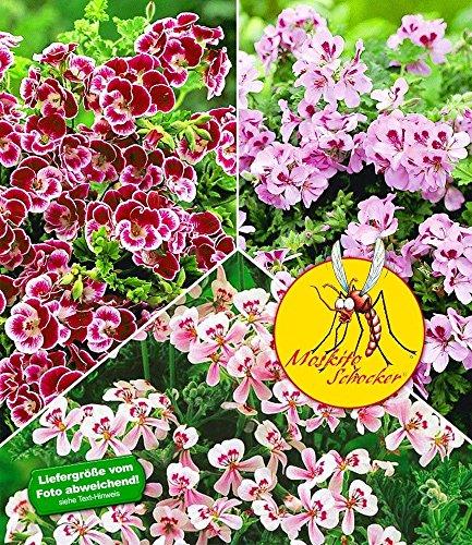 baldur-garten-duft-geranie-moskito-schockerr3-pflanzen