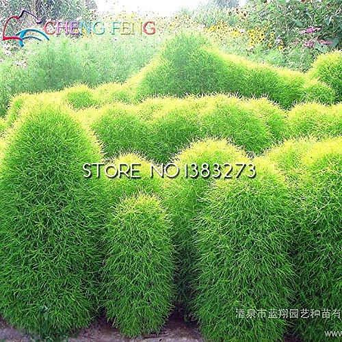 Farm Brennende (Grassamen Stauden 100 Samen Gras brennende Bush Kochia Scoparia Samen Mini Garten Zier Easy Grow Um Farm Pflanzer Töpfe)