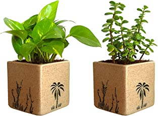 Rolling Nature Combo Of Good Luck Live Money Plant And Jade Plant In Brown Square Aroez Ceramic Pot