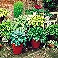 Funkien Mischung - 6 pflanzen von Meingartenshop bei Du und dein Garten