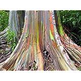 Asklepios-seeds® - 150 Semillas de Eucalyptus deglupta eucalipto