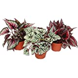 "Mix of ornamental-leaved begonias""Botanica"" - 3 plants - 12cm pot"