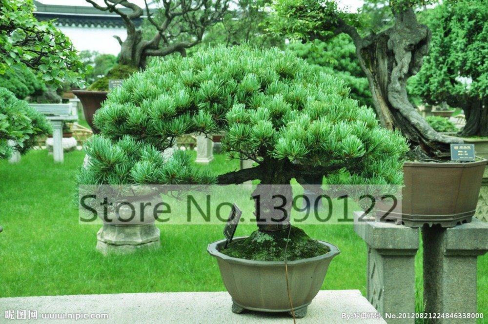 Semi di ortensia ortensia paniculata Vaniglia Fragola Naturia Hydrangea macrophylla giardino della c