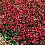 Heidenelke - 3 pflanzen