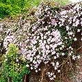 Clematis MontanaTetrarose von Meingartenshop - Du und dein Garten