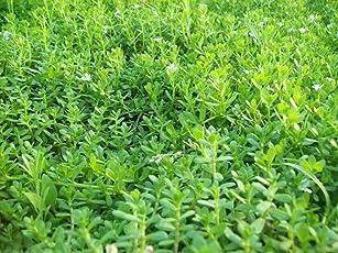 Vamsha Nature Care Ayurvedic Medicine Bacopa Monnieri, Neer Brahmi Live Plant