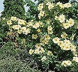 'Frühlingsgold', Strauchrose im 4 Liter Container