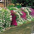 Moosphlox Mischung von Meingartenshop bei Du und dein Garten