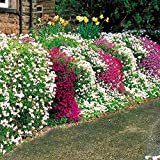 Phlox subulata Wall Rockery - 25 plants